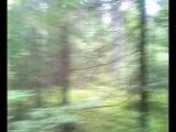 Встреча с лосём в лесу.